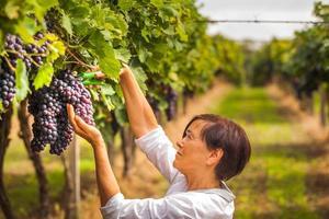 colheita de uva foto