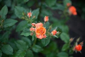 rosa florescendo foto
