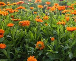 flores de calêndula foto