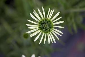 flor de echinacea foto