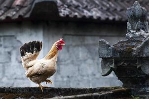 galinha com templo balinesse foto