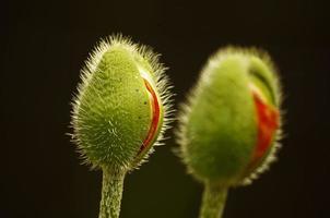 flores de papoula foto