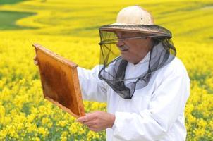 apicultor sênior experiente que trabalha no campo de colza em flor foto