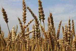 plantas de trigo foto