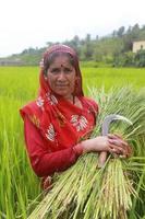 velha senhora uttrakahnd indiana em pé no campo de arroz foto