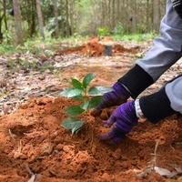 mãos dos agricultores para plantar mudas de café nas plantações. foto