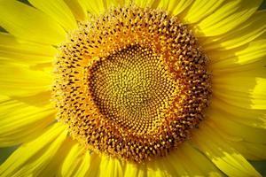 flor do sol foto