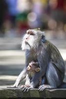 macaco de cauda longa com seu bebê foto