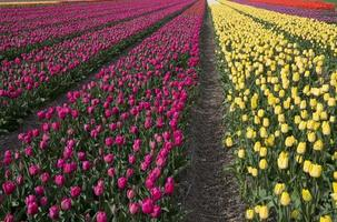 cultura tulipa foto