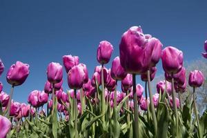 cultura tulipa