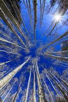 álamos tremedores com céu azul foto