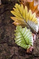 samambaia em folha de carvalho