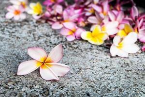 flor spa - plumeria frangipani, bali, indonésia foto