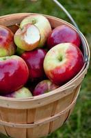cesta de maçãs maduras