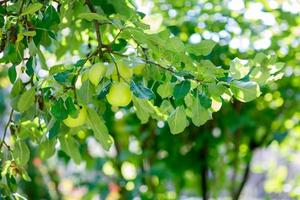 maçãs verdes em um galho pronto para ser colhido, ao ar livre foto