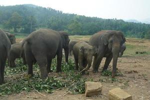 elefantes asiáticos, sri lanka