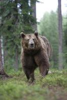 urso-pardo europeu, ursus arctos foto