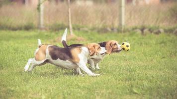 dois cães beagle jogando futebol foto