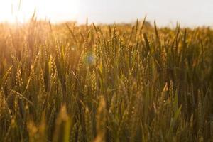 raios de sol sobre o campo de cereais