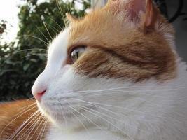 perfil de gato tigrado laranja e branco, aproveitando o sol