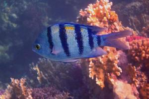 peixe sargento grande foto