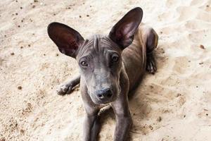 cão tailandês na areia foto