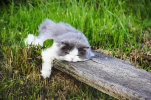 gato persa dormindo na madeira foto