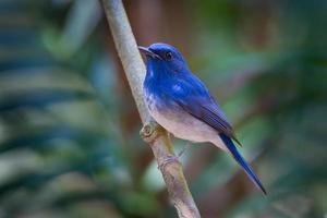 retrato de papa-moscas azul hainan (cyornis hainanus)