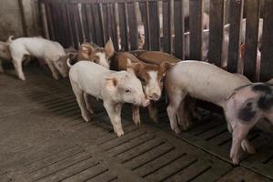 porcos na fazenda foto