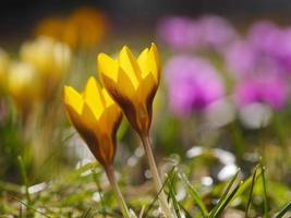 açafrão prado primavera foto