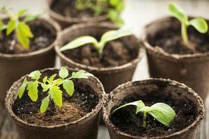 mudas crescendo em vasos de musgo de turfa