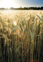 campo de trigo no nascer do sol de um dia ensolarado