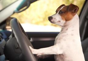 jack russell terrier, desfrutando de um passeio de carro foto