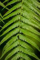 folha de samambaia com folhetos verdes foto