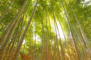 floresta de bambu, kyoto, japão