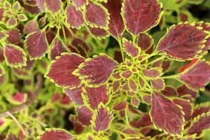folhas verdes e vermelhas no jardim