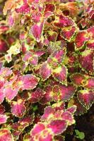 folhas verdes e vermelhas no jardim foto