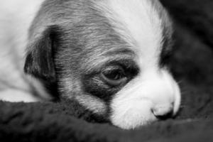 filhote de cachorro chihuahua bonito e um pouco triste foto