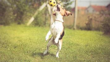 cão beagle de jogador de futebol foto