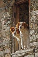 casal de cães, inclinando-se para fora de uma janela - perros