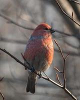 Grosbeak de pinho masculino em uma manhã de outono foto