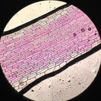 fotos microscópicas de células de commelinaceae