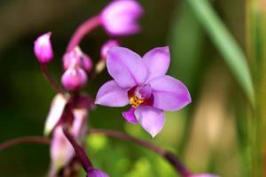 orquídea em vaso de plantas foto