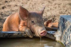 água potável de porco bebê foto