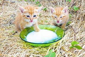 gatinhos jovens bebendo leite foto