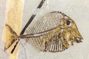peixe fóssil