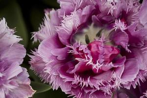 macro de tulipa rosa foto
