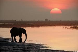 elefante bebendo ao pôr do sol foto
