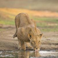 leão feminino (panthera leo) bebendo foto
