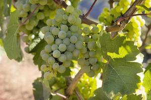 cachos de uvas verdes em vinhedo 2 foto